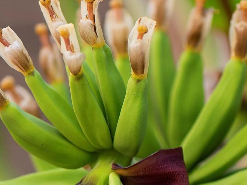 Célébrer le «Banana Day» et découvrir les soins à la banane Kadalys